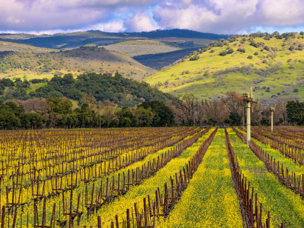 Spring Mustard in the vineyards