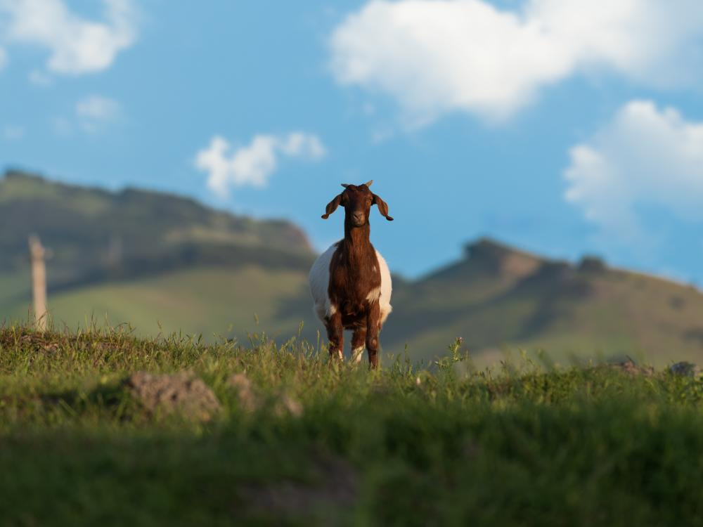 A goat greet visitors to the wide open spaces of American Canyon in California