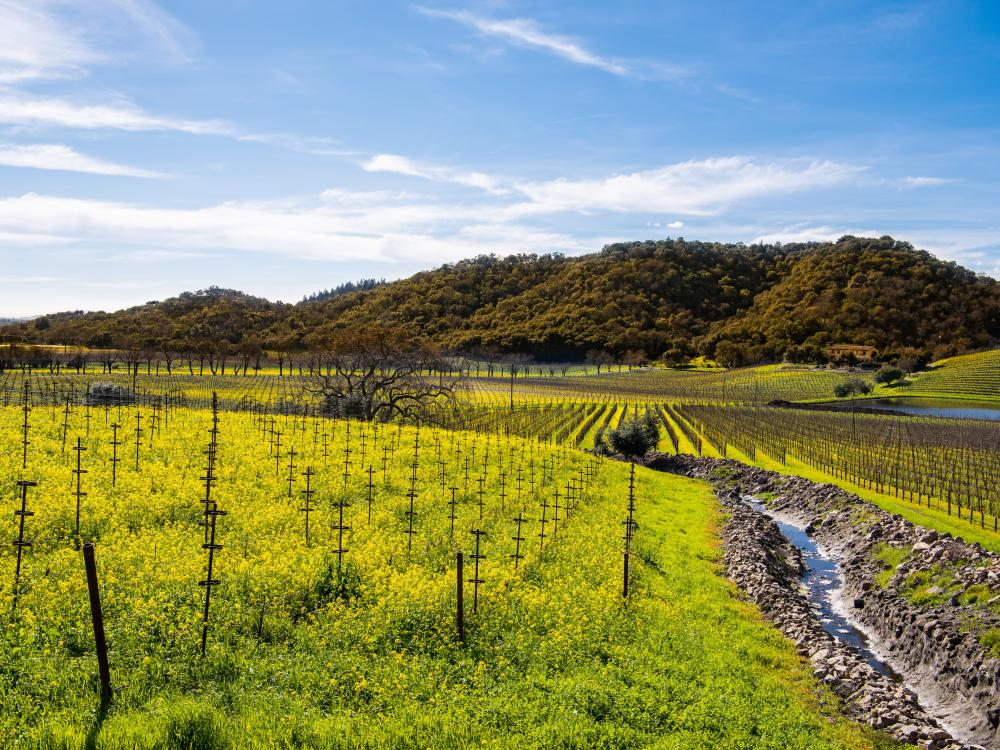 Winter Mustard Vineyards