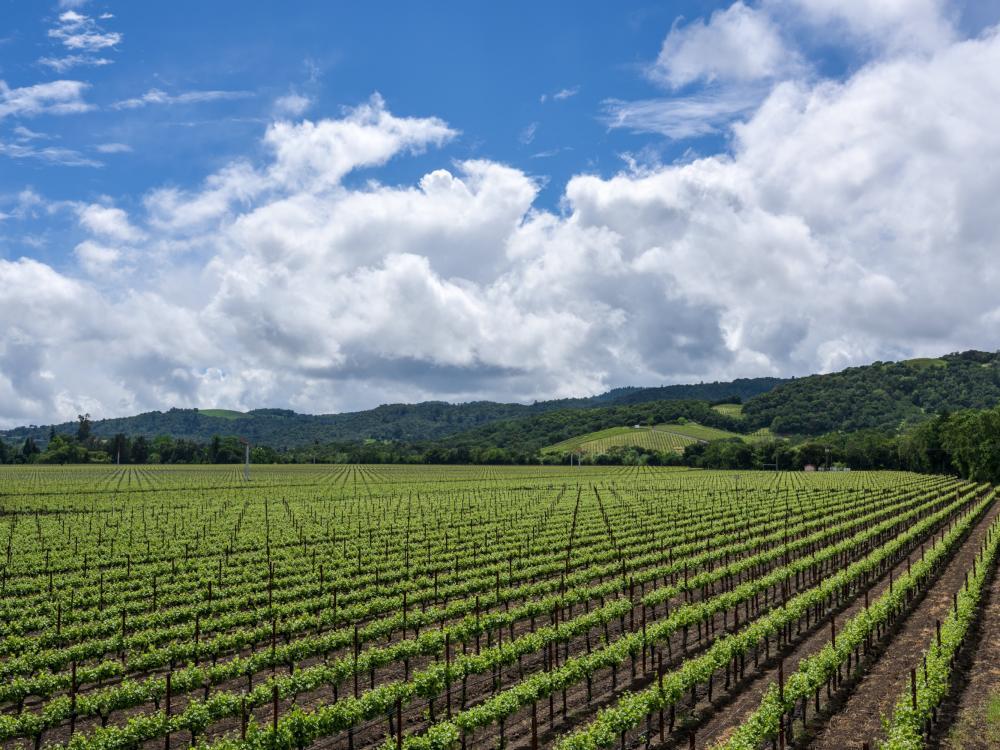 Napa Valley spring vineyard vista