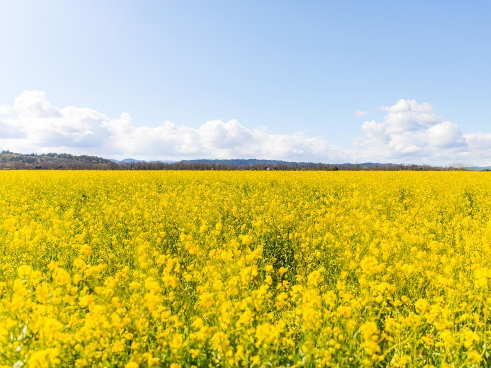 Winter Mustard in Napa Valley