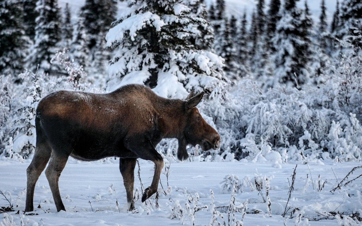 a moose in a snowy forest