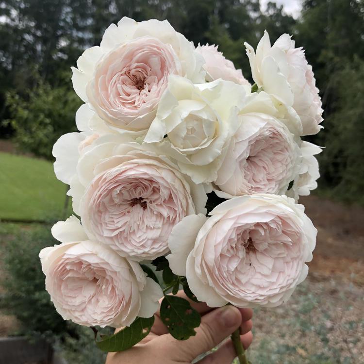 Earth Angel Garden Rose at Wild Flora Farm