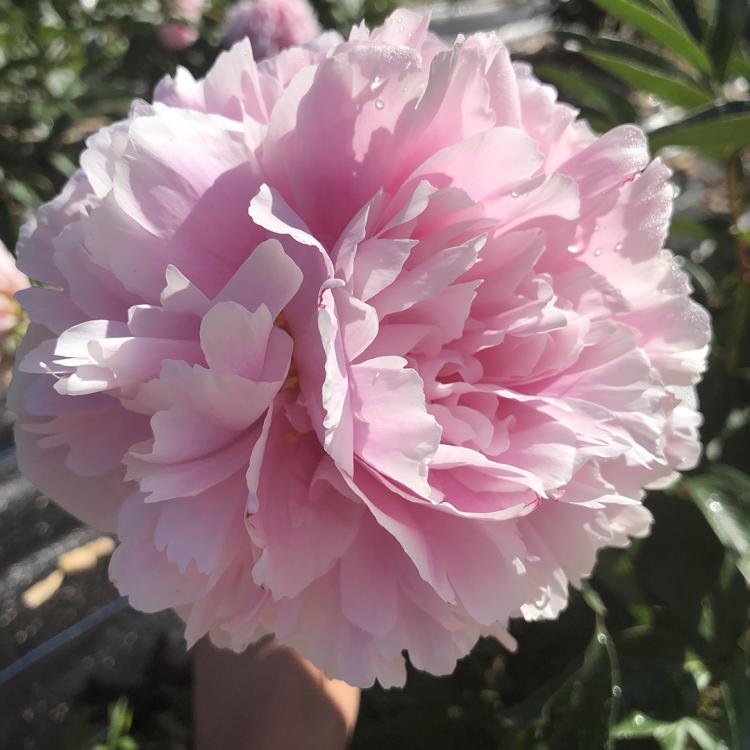 Pink Peony at Wild Flora Farm