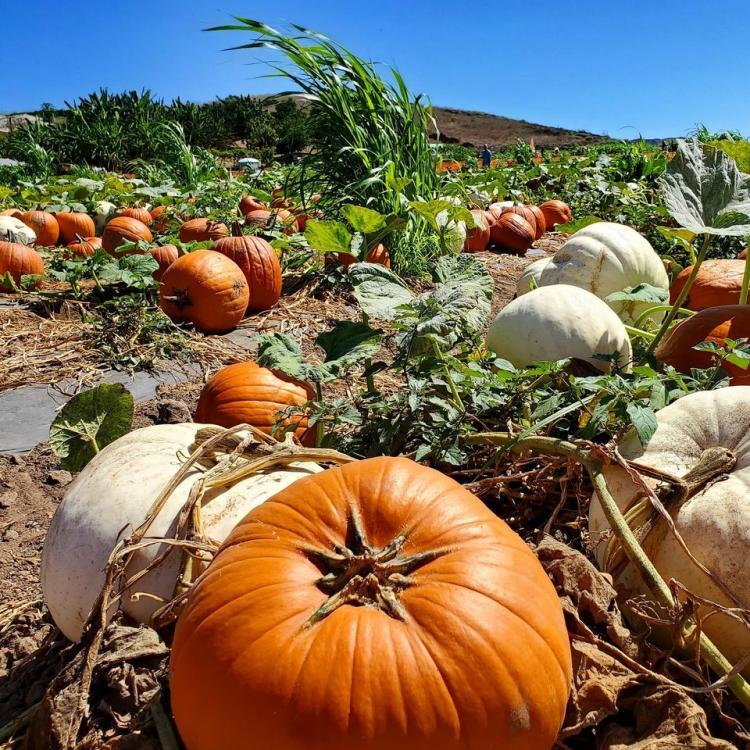 Tanaka Farms pumpkin patch