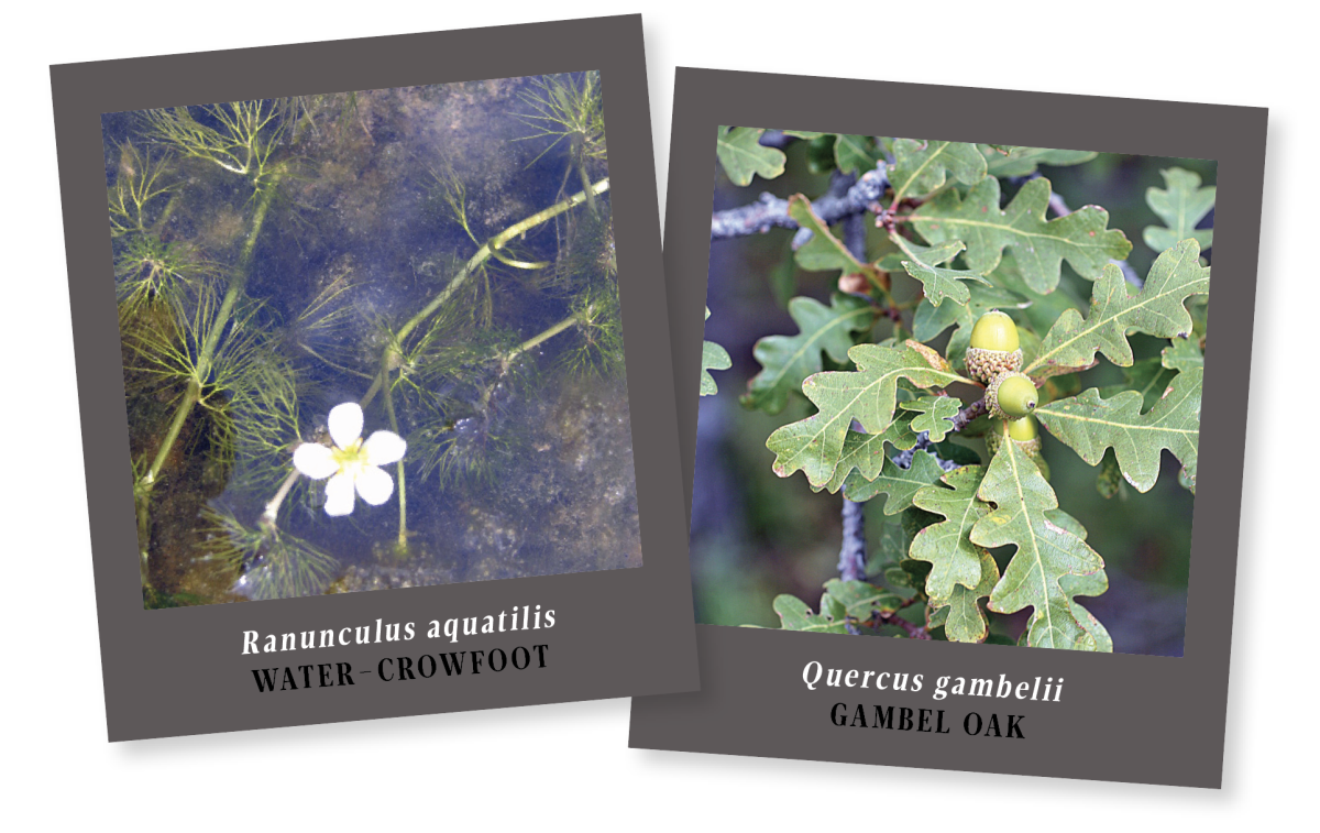 Water-Crowfoot & Gambel Oak