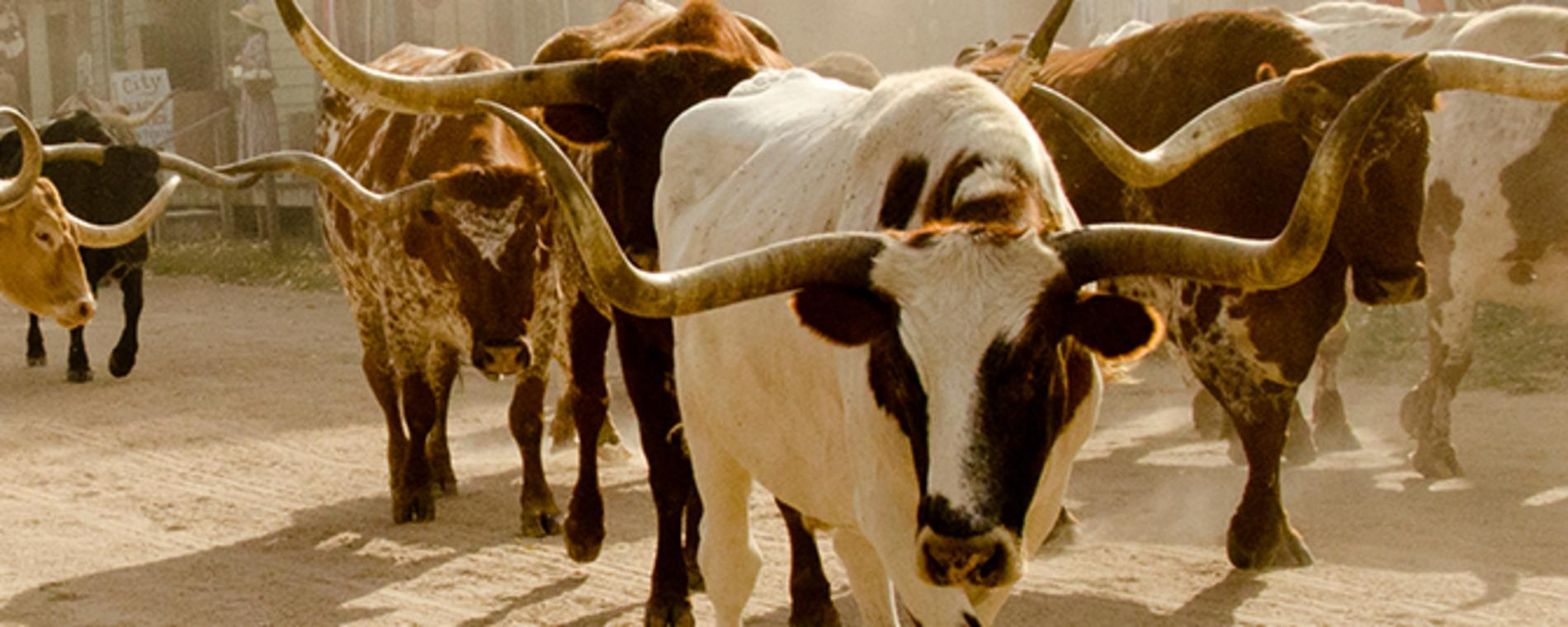 Experience The Chisholm Trail Cattle Drive In Oklahoma Kansas