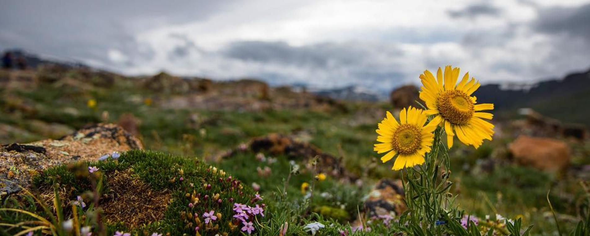 Wildflower Rocky Mountain National Park RMNP