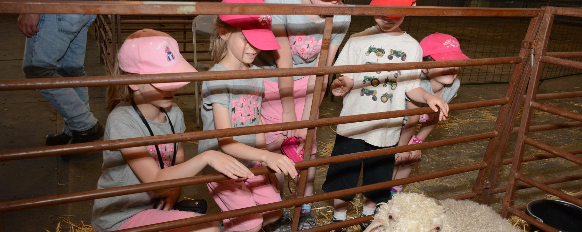 Wool Market Kids Sheep