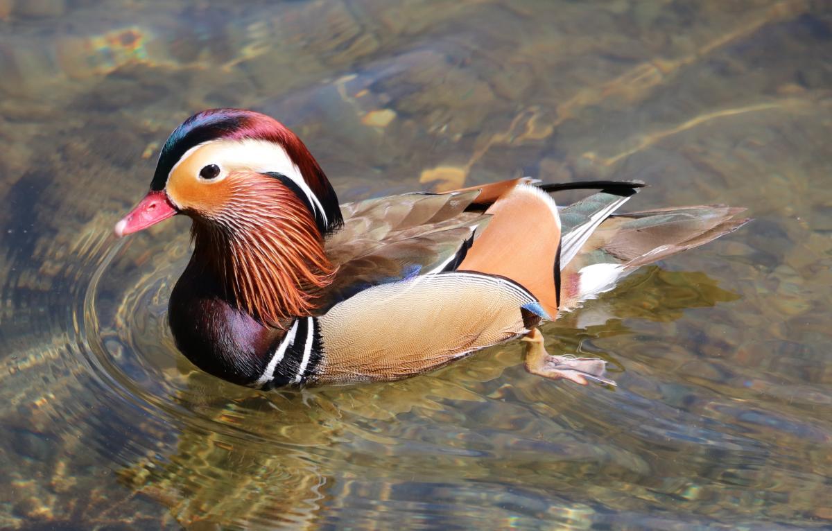 Mandarin duck swimming