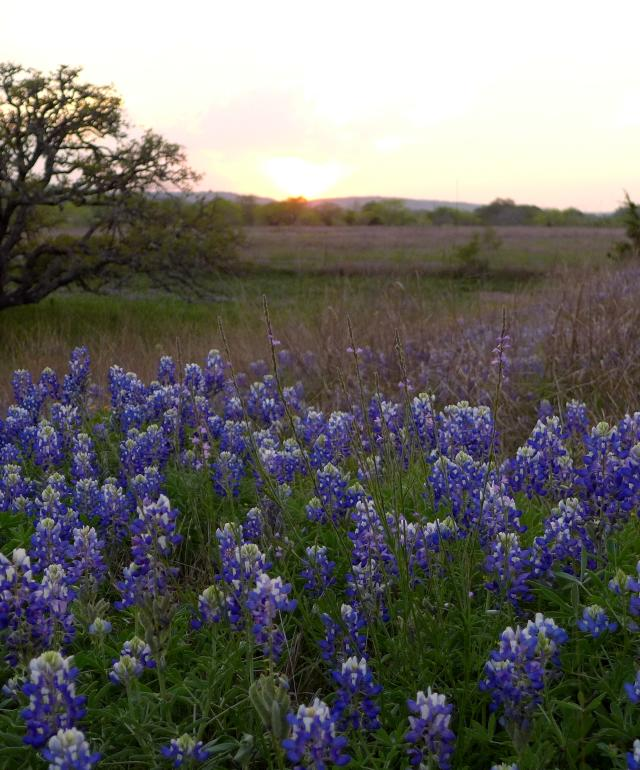 Bluebonnets. Wildflowers