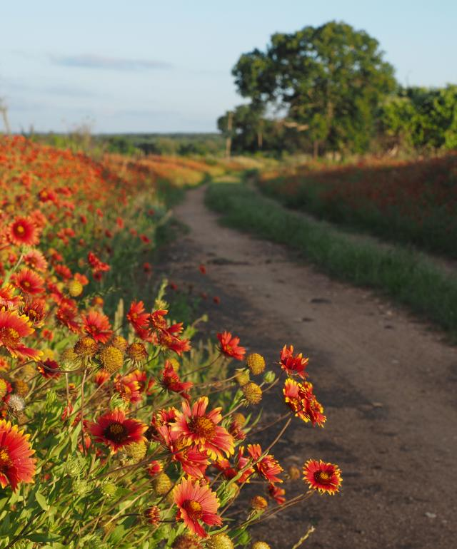 Indian Blankets Dirt Road
