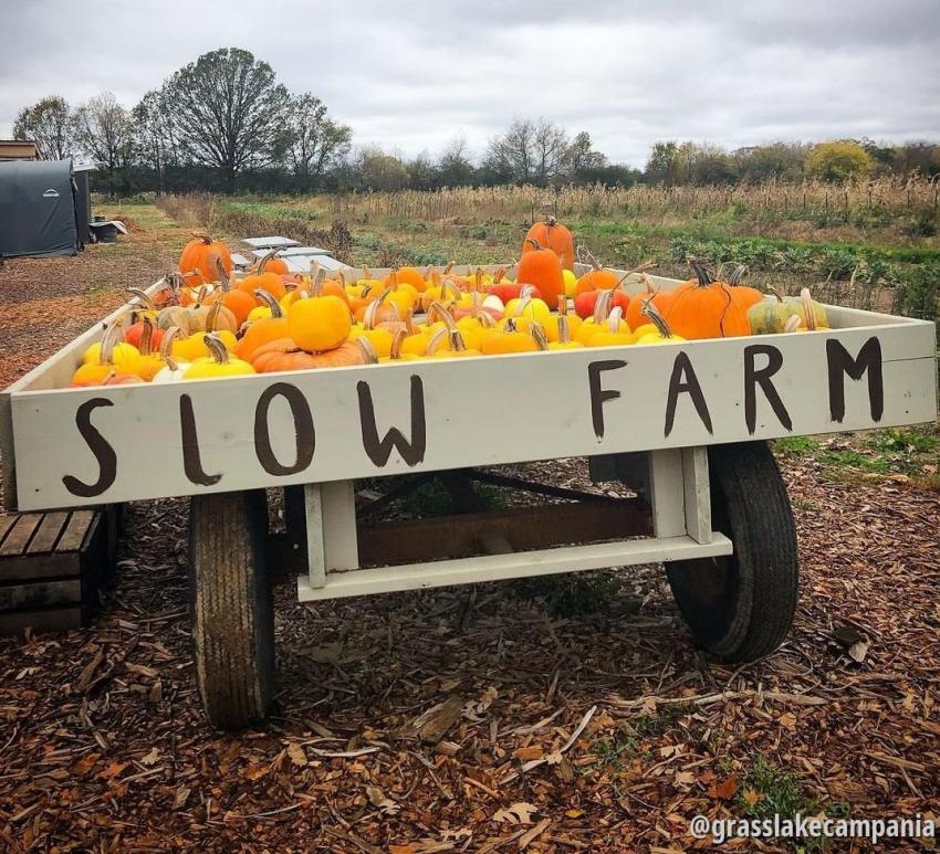 Pumpkins at Slow Farm