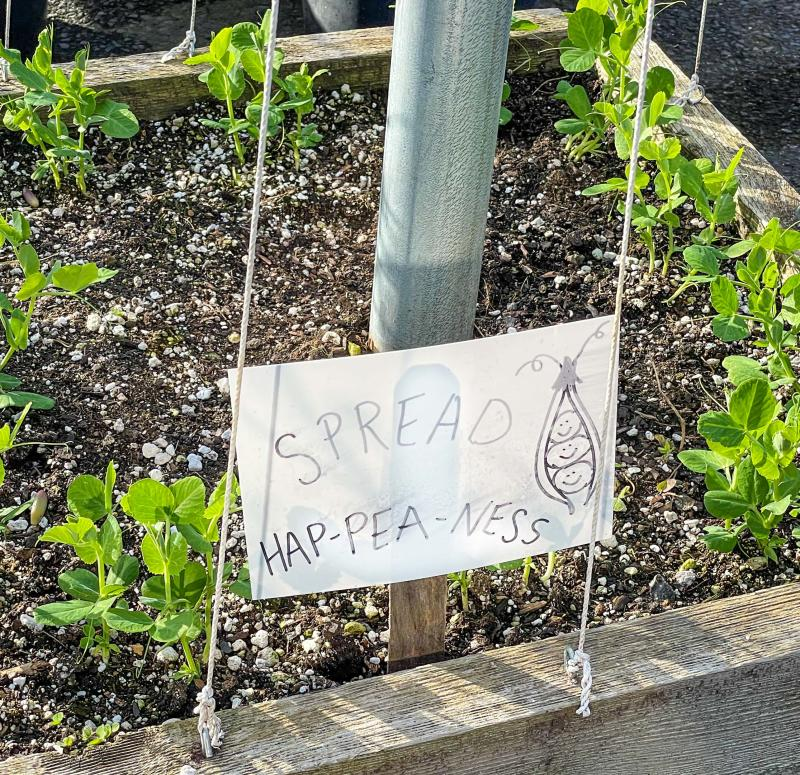 "A bed of young pea plants with a sign that reads ""Spread Happiness"""