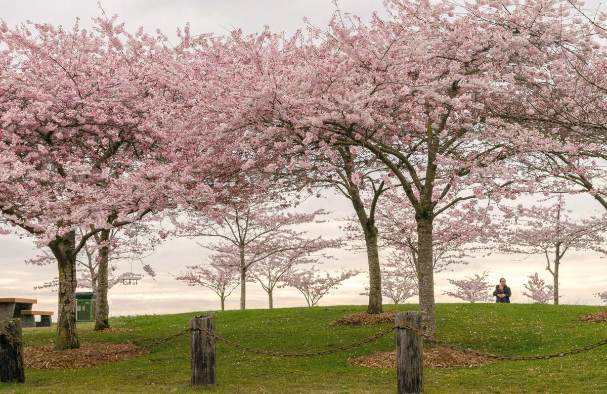 Cherry blossoms at Garry Point Park in Richmond's Steveston neighbourhood