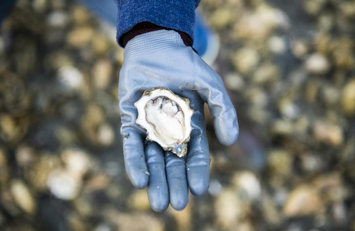 Oyster on Beach - Nick Cote