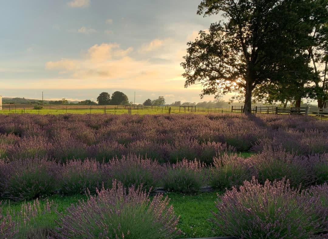 Swank Lavender