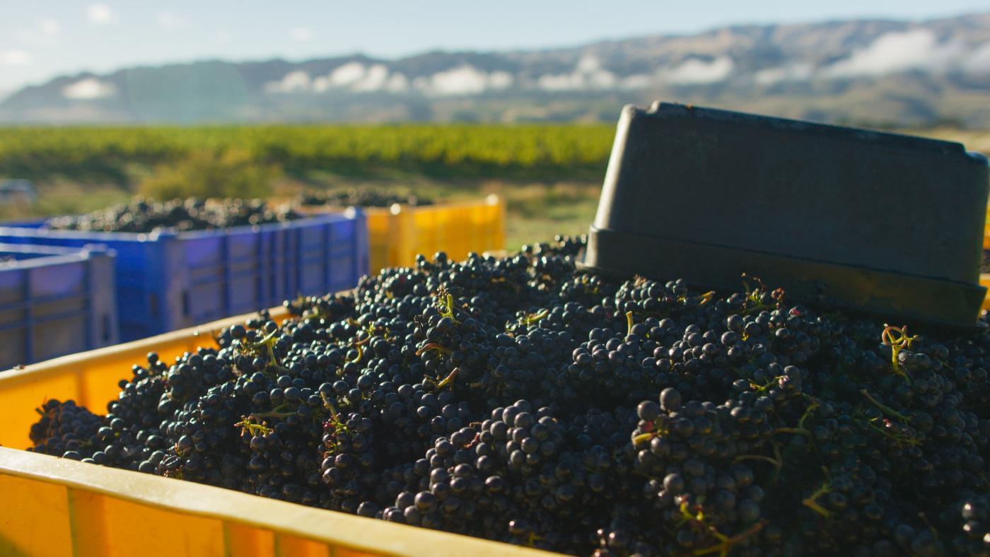 Gibbston Valley Winery Grape Harvest