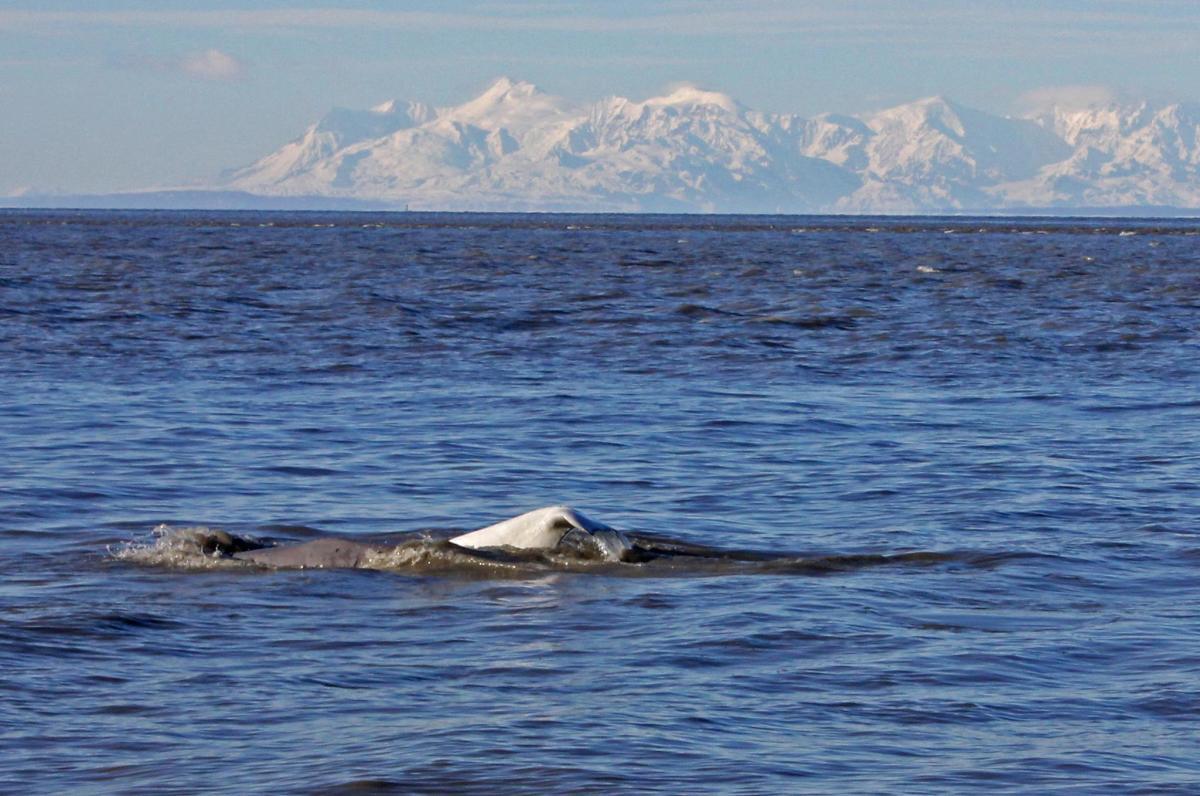 Point Woronzof Beluga Whales