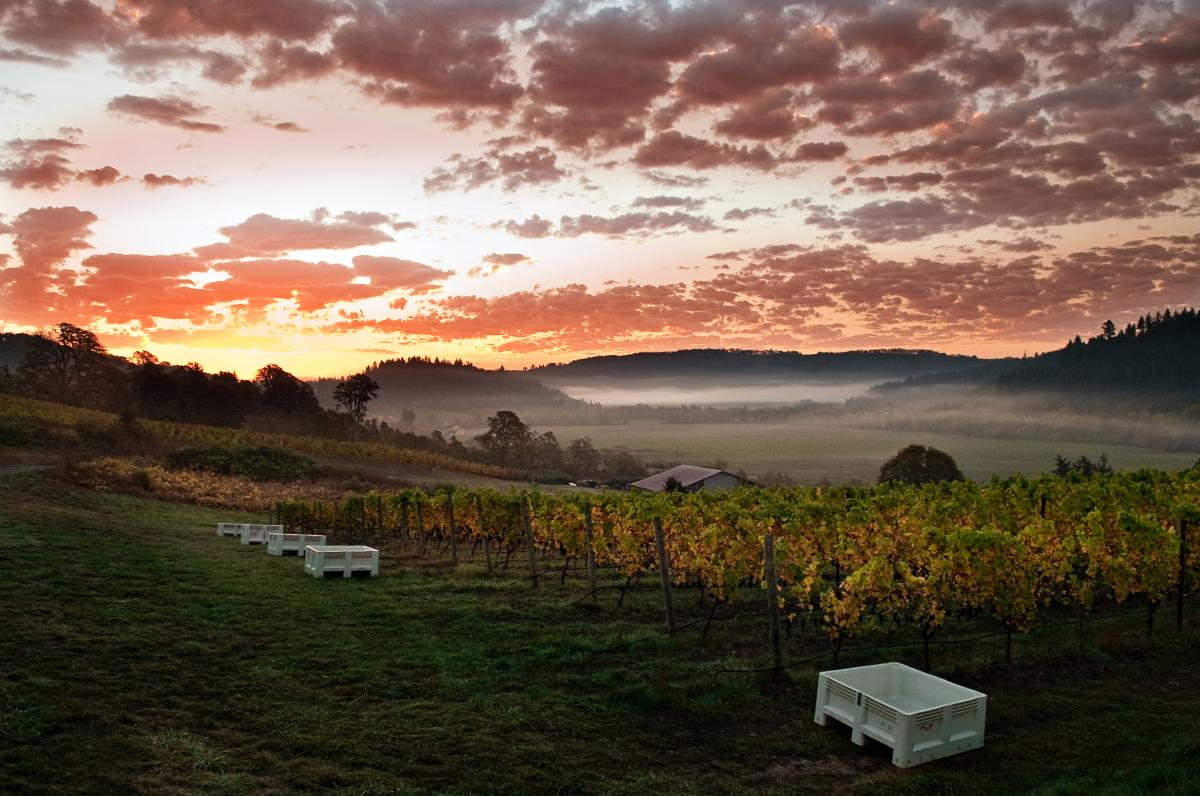 Colorful sunrise over a Willamette Valley vineyard during harvest.