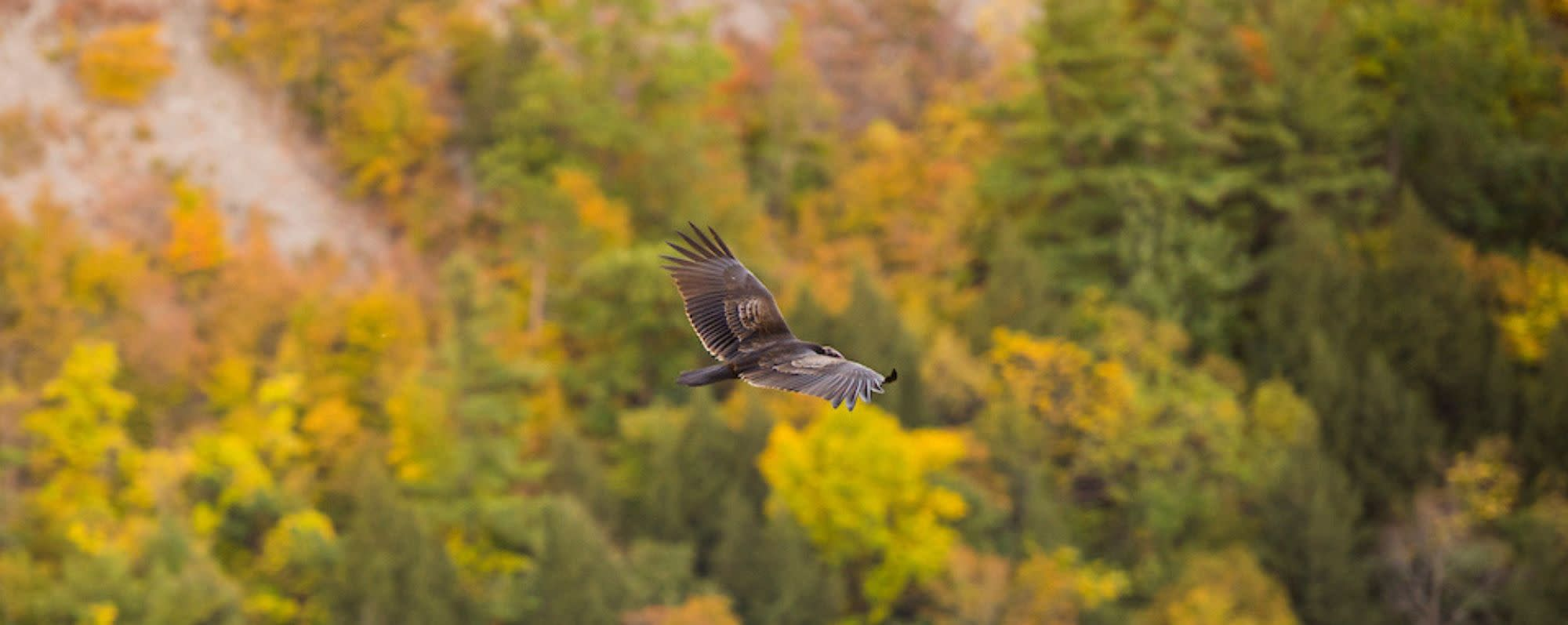 Hawk flying through Letchworth State Park in the fall