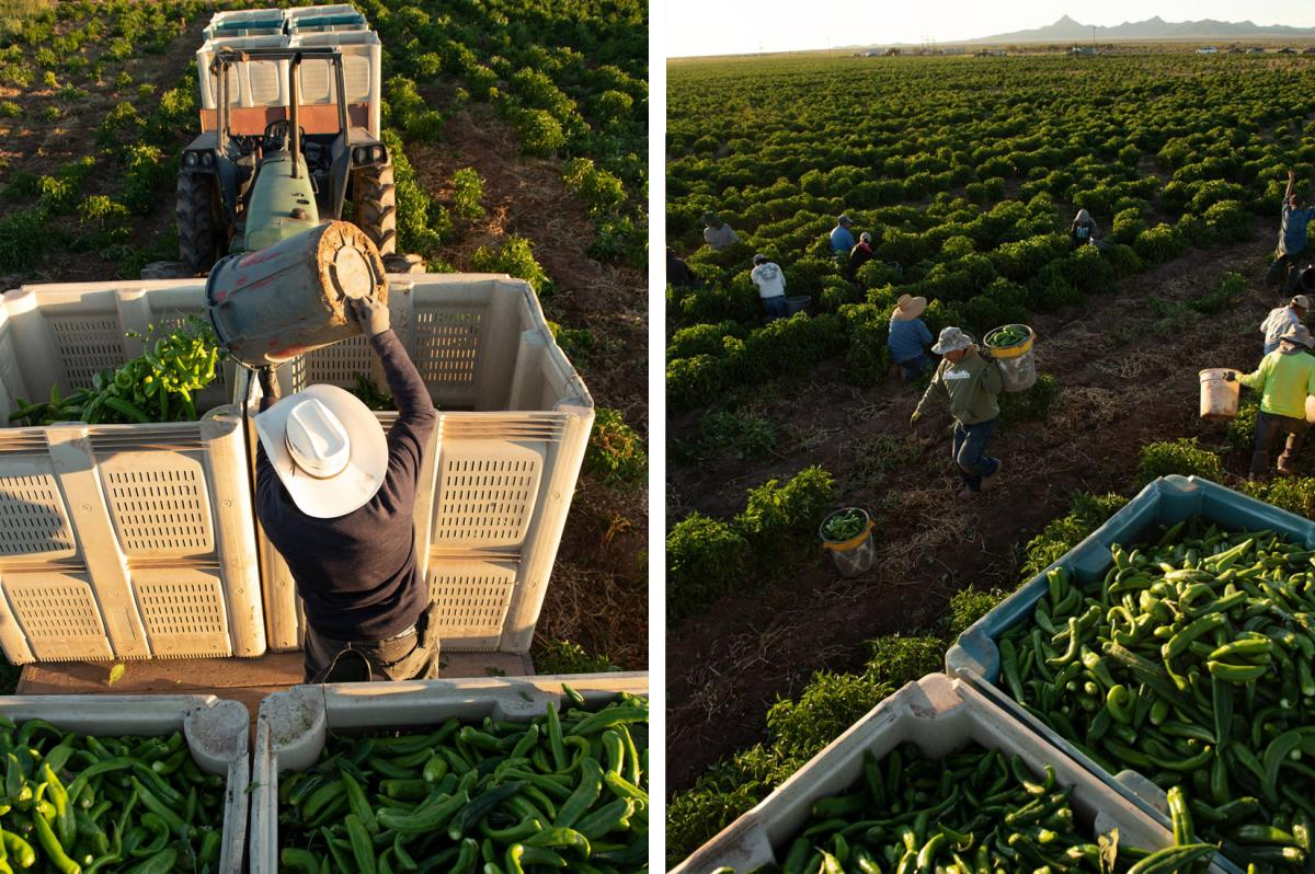 Migrant workers during chile harvest in Hatch, NM