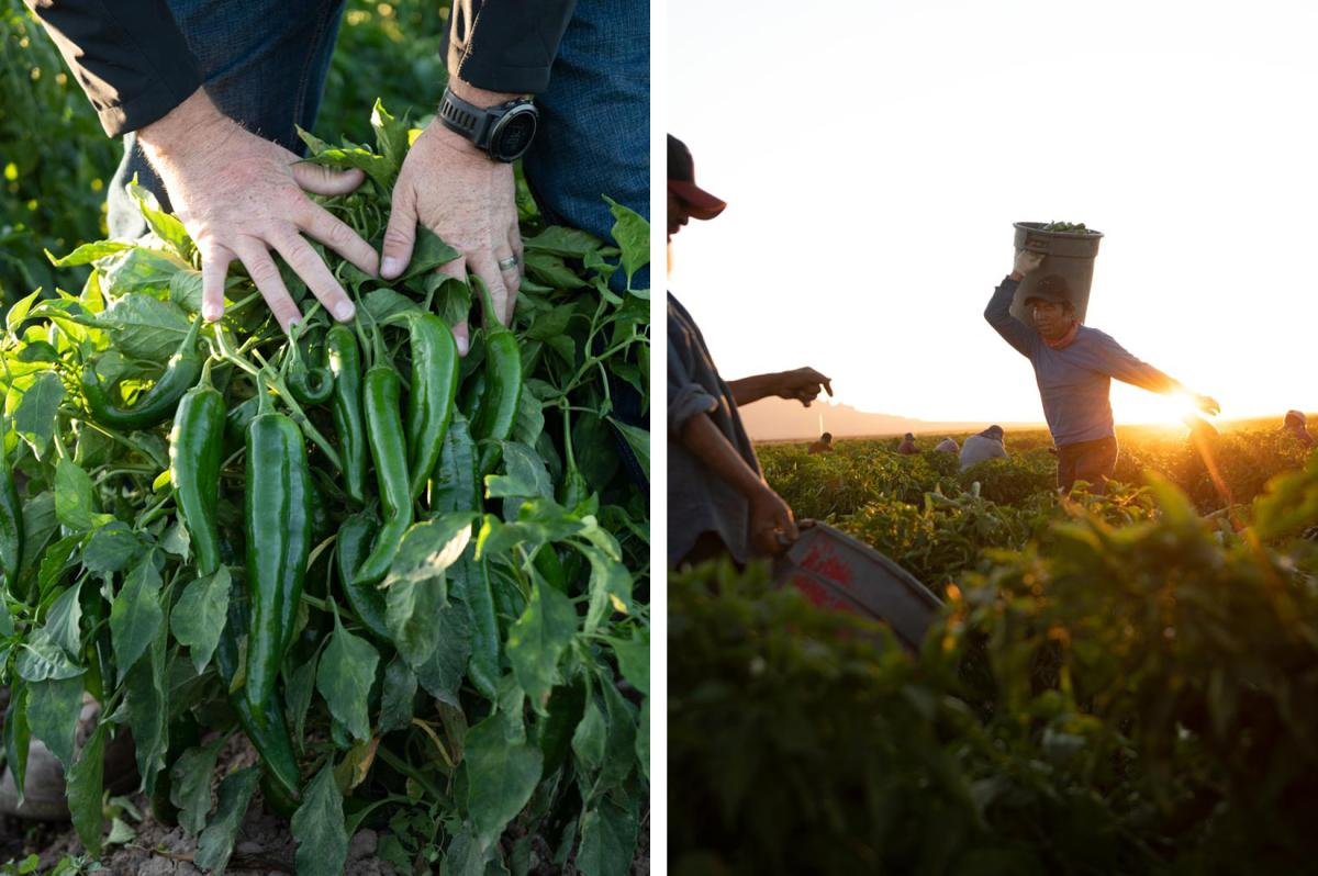 Hatch chile peppers and a migrant worker carrying bucket of harvest in Hatch, NM