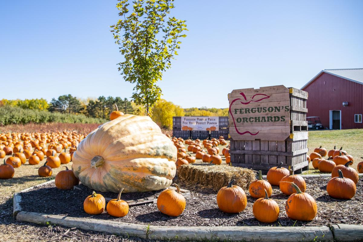 Pumpkins at Ferguson's Orchards in the fall