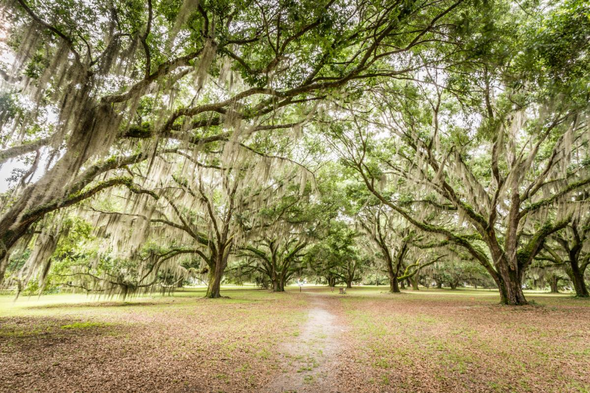 Ancient live oak trees laden with Spanish moss line the walkway to Hofwyl-Broadfield Plantation in Brunswick, Georgia