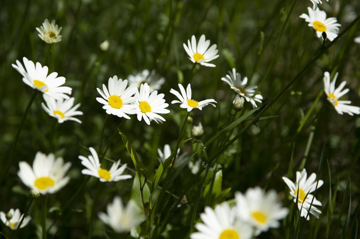 white wild daisies wildflowers