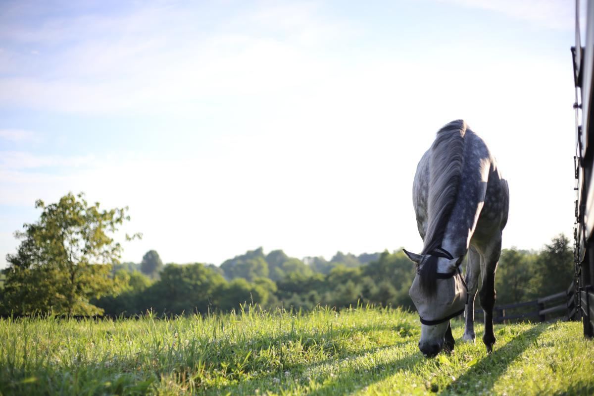 A dappled grey horse grazes in a pasture at Jonabell Farm.
