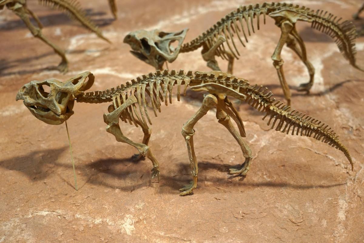 Baby Protoceratops at the New Mexico Museum of Natural History & Science