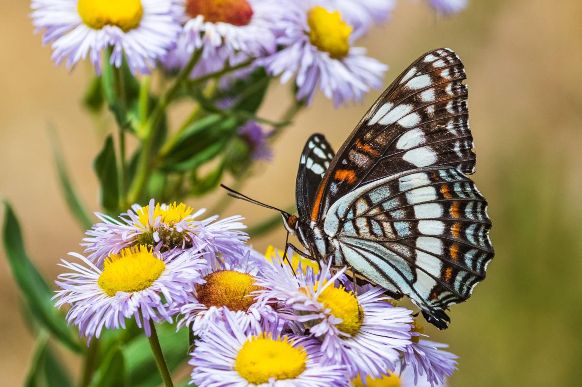 Weidemeyer's Admiral, Photograph by Marc Bailey, New Mexico Magazine