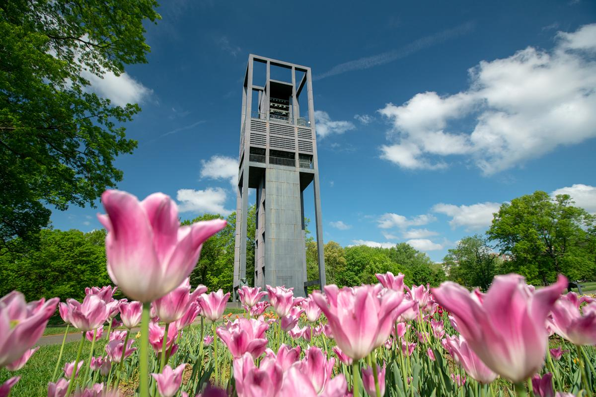 pink tulips at the Netherlands Carillon