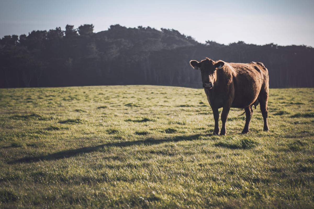 San Simeon Cow