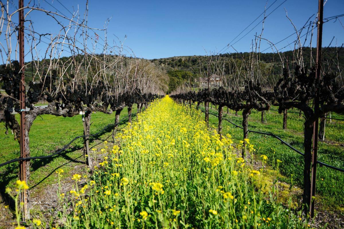 Mustard in Sonoma Valley Vineyard at Gundlach Bundschu winery in Sonoma