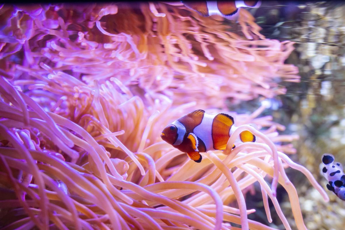 The Florida Aquarium clownfish