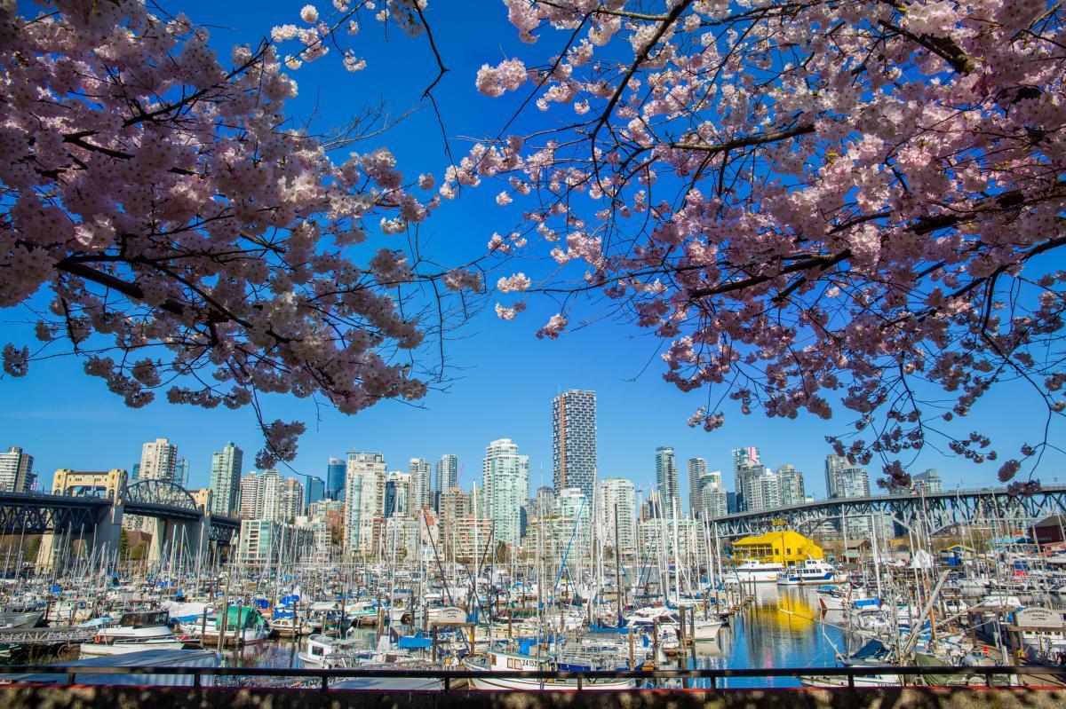 Cherry blossoms near Granville Island