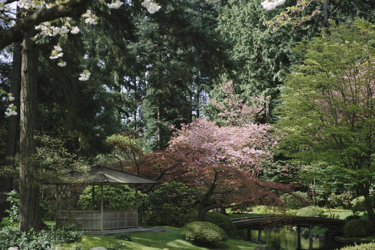 Cherry blossoms at Nitobe Memorial Garden