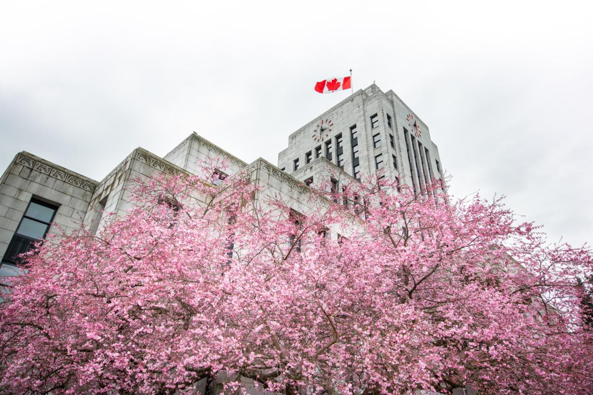 Cherry blossoms at Vancouver City Hall