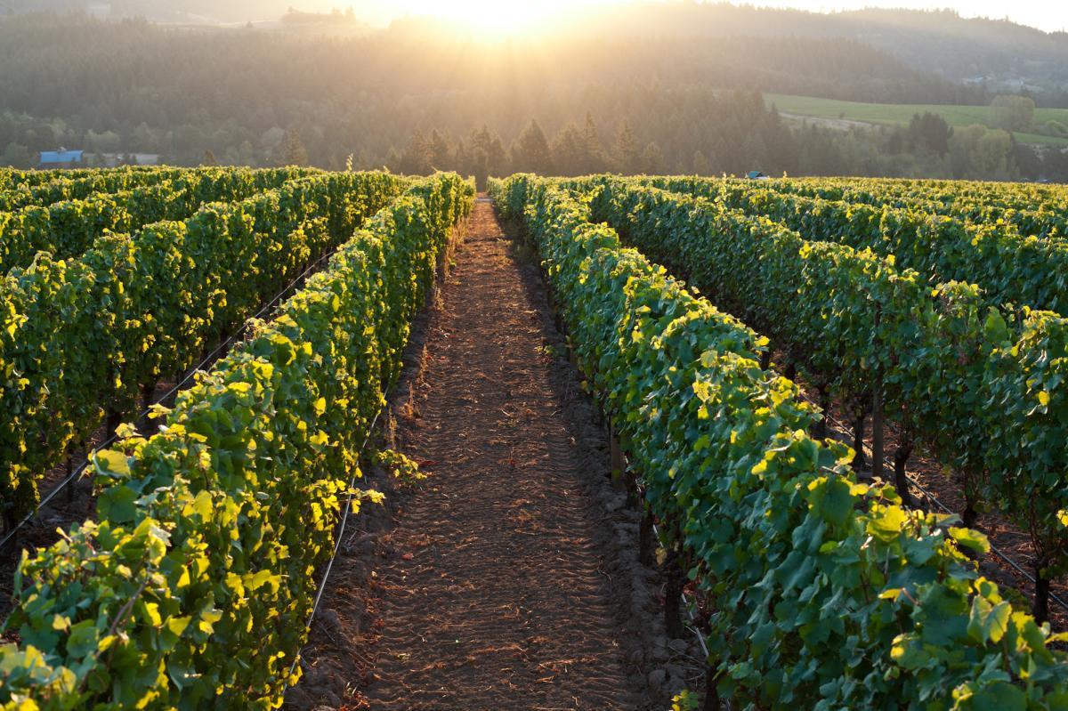 Adelsheim Ribbon Springs Vineyard