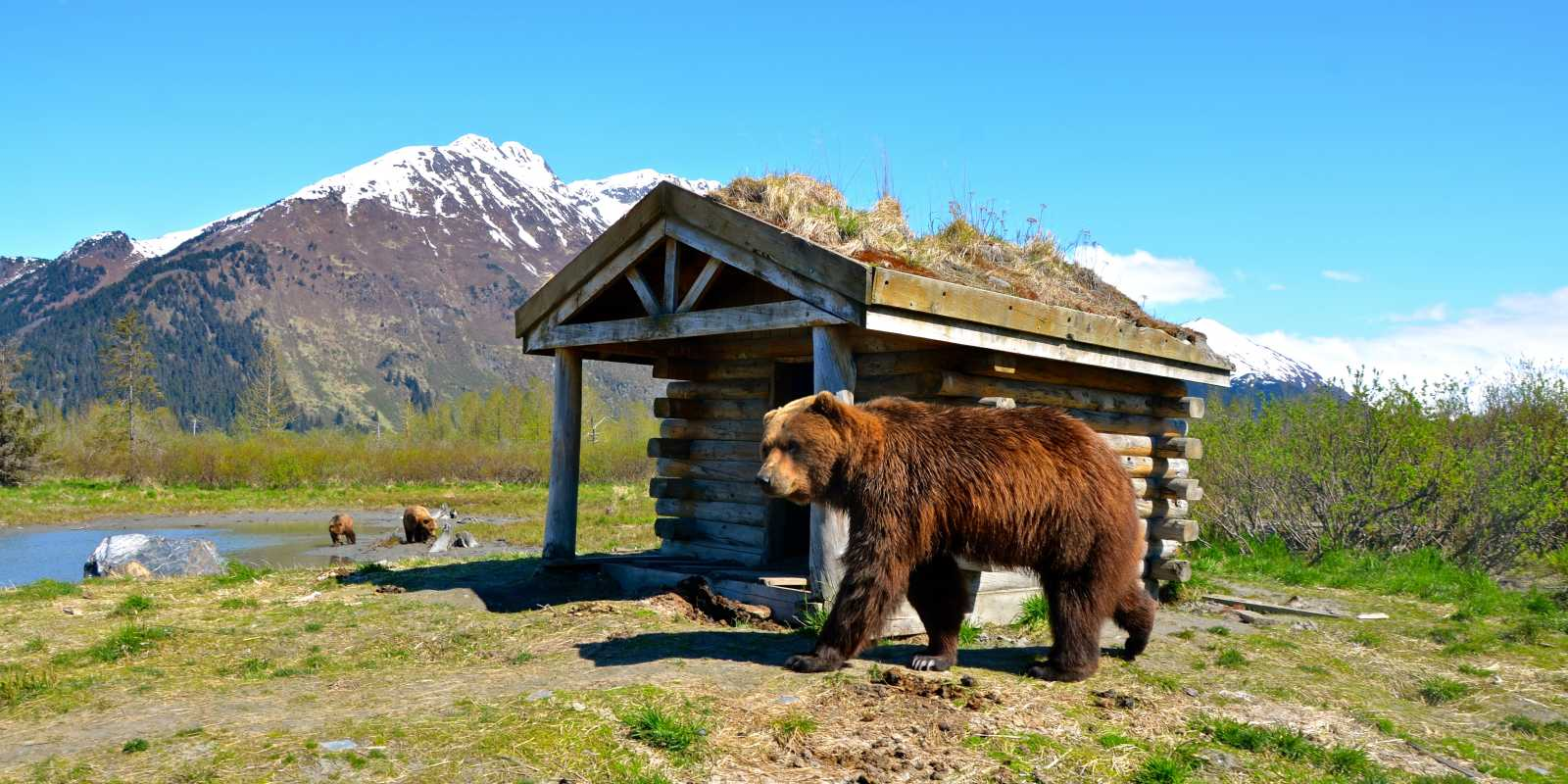 A bear pauses at the Alaska Wildlife Conservation Center