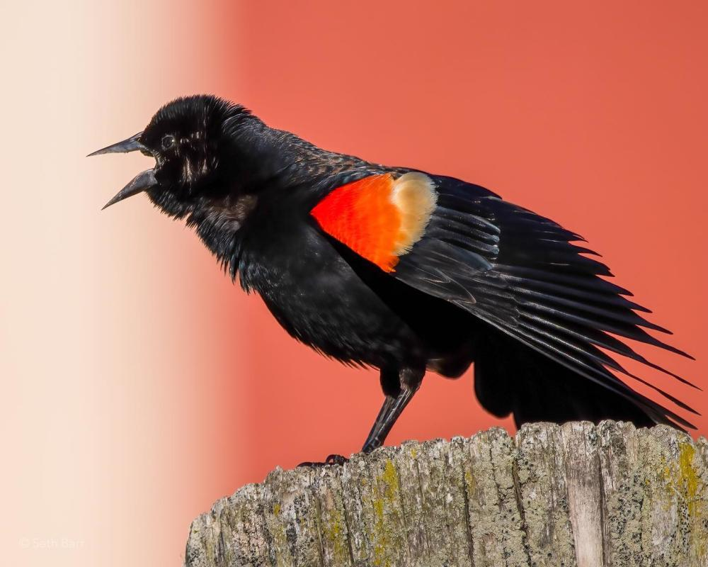 Red-Winged Blackbird at Eagle Marsh Nature Preserve