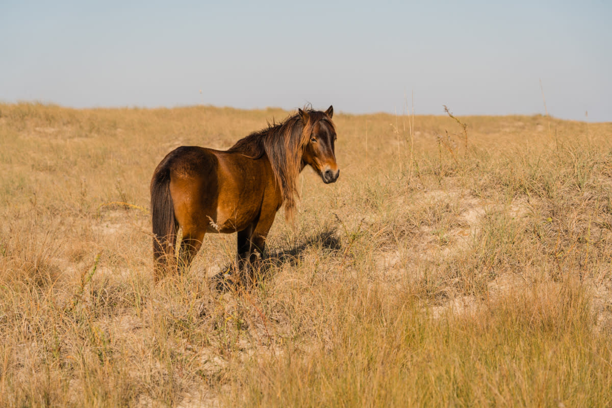 A wild pony enjoys the sunshine on the Shackleford Banks.