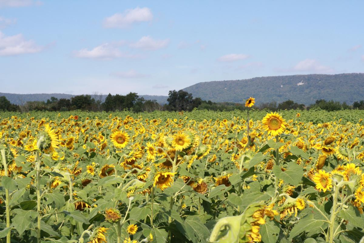 Field Of Sunflowers At Meadowbrooke Gourds In Carlisle, PA
