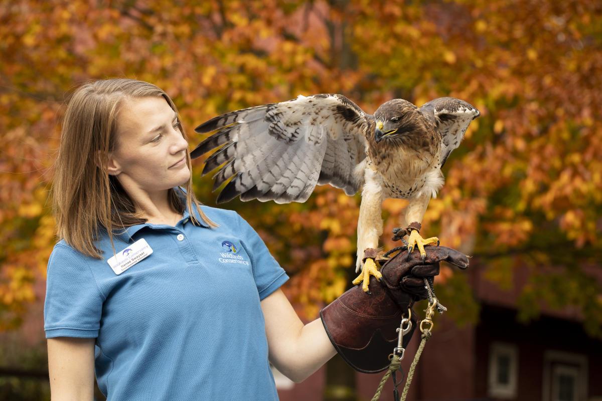 A hawk and handler at Wildlands Conservancy