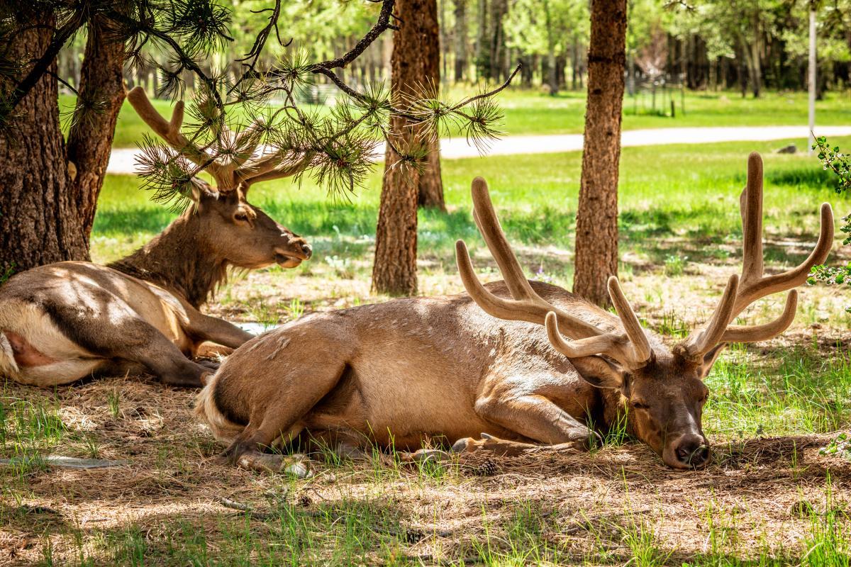 elk two males lying down