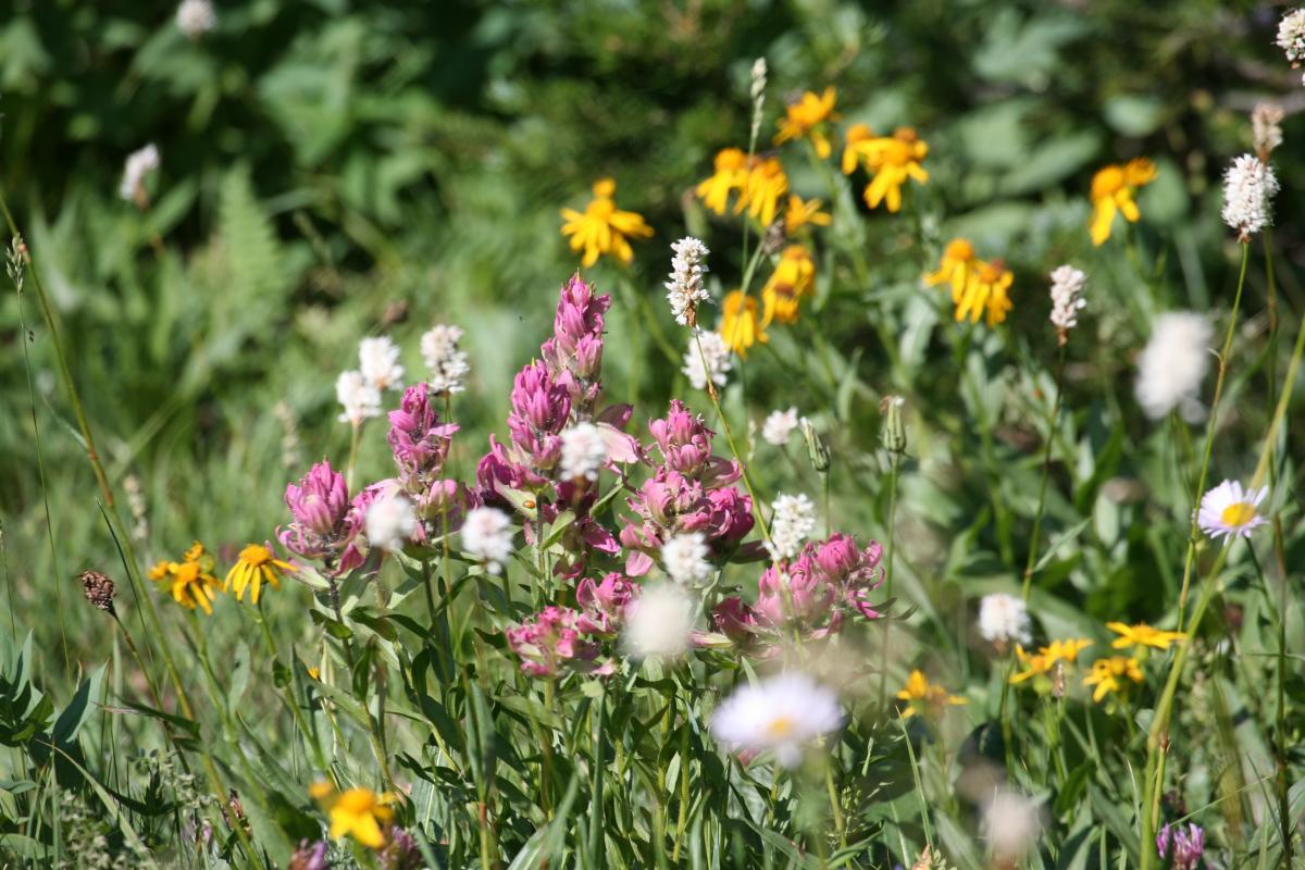 RMNP wildflower credit Robert Burns