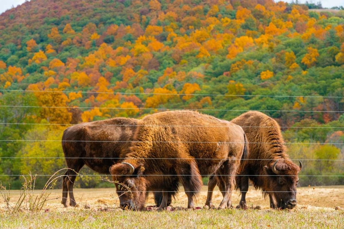 Bison grazing on the driving safari at Mud Creek Bison Ranch and Farm