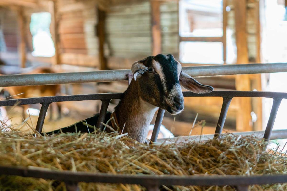 Friendly Goat at Side Hill Acres Goat Farm